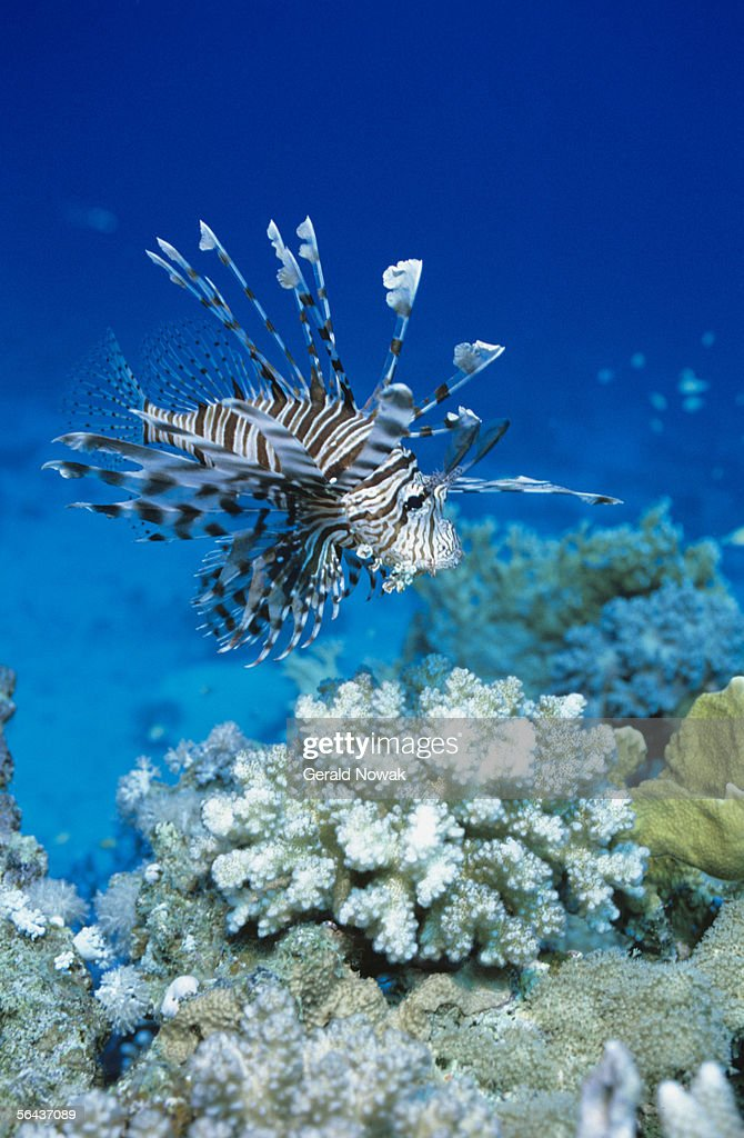 Common lionfish (Pterois volitans), underwater view, Red Sea
