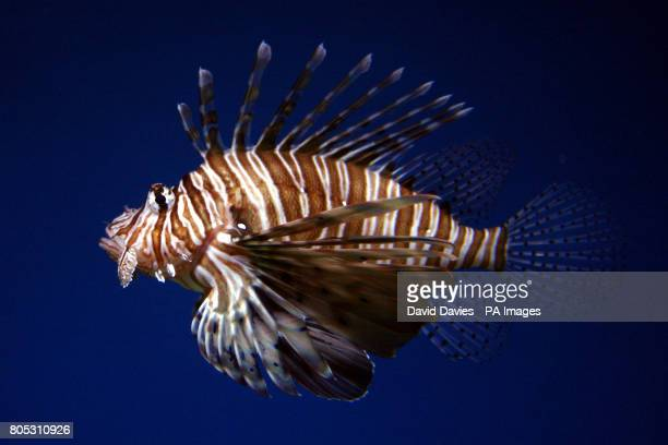 A Common Lionfish taken at the National Aquarium in Plymouth Picture date Friday July 24 2009