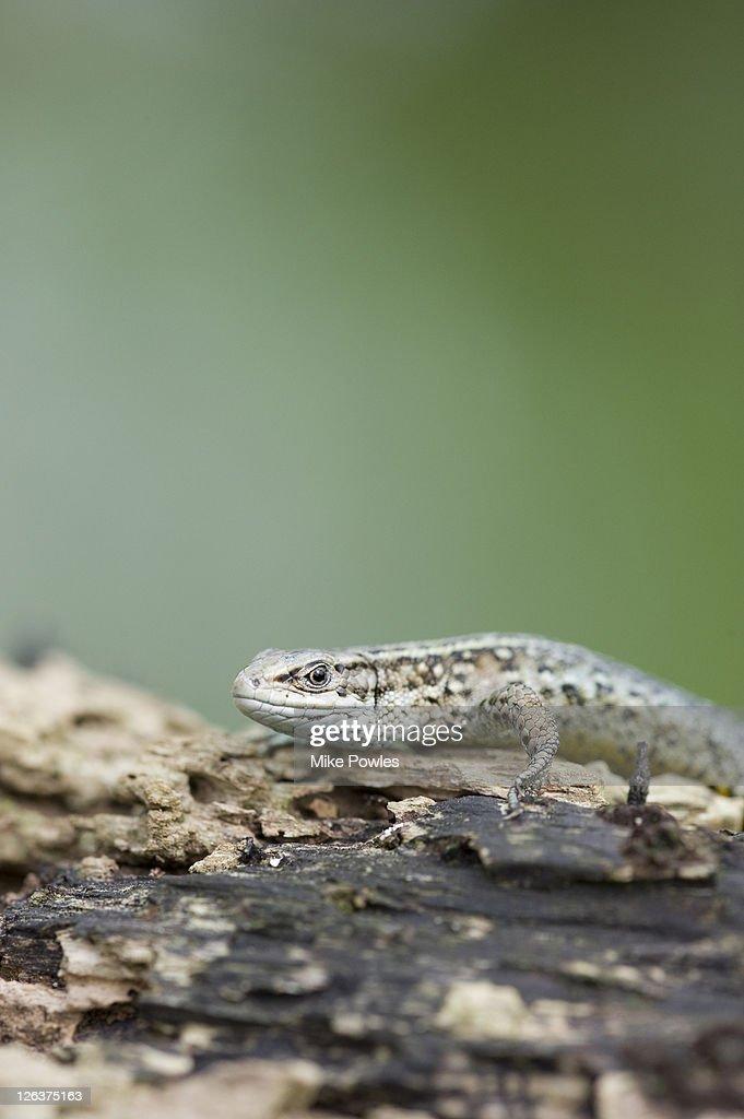 Common lizard (Zootoca vivipara) on log, Norfolk, UK : Stock Photo