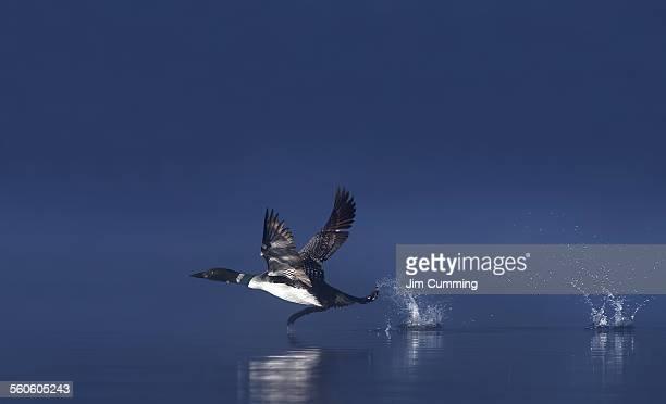 Common loon taking flight