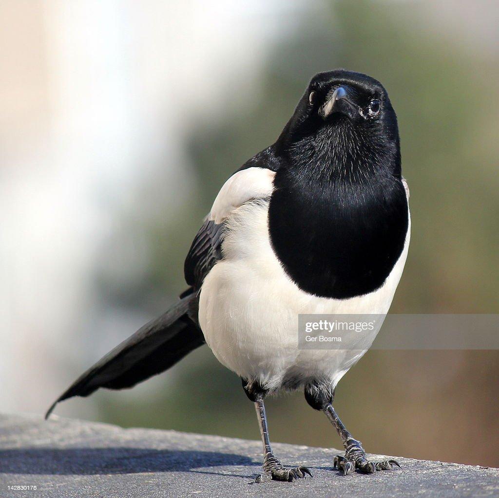 Common magpie : Stock Photo