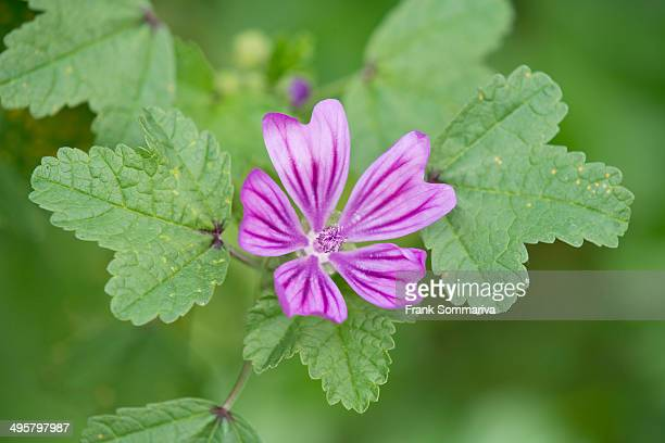 Common Mallow -Malva sylvestris-, flower and leaves, Thuringia, Germany