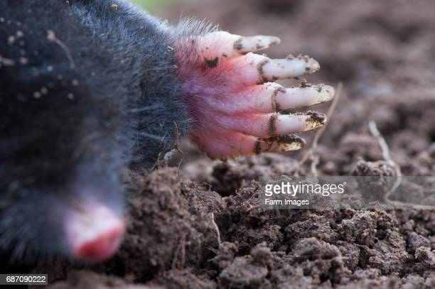 Common mole above ground showing strong front feet used for digging runs underground Talpa europaea