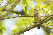 Common Nightingale perched in a tree singing loud. Seeing a couple of branches with the nightingale perched on a branche seeing in the background sky and light coloured green leafs. The nightingale is