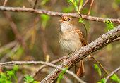 Common Nightingale (Luscinia megarhynchos) singing.