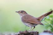 Common Nightingale (Luscinia megarhynchos)