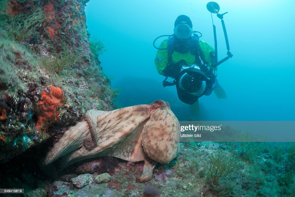 Common Octopus and Underwaterphotographer Octopus vulgaris Cap de Creus Costa Brava Spain