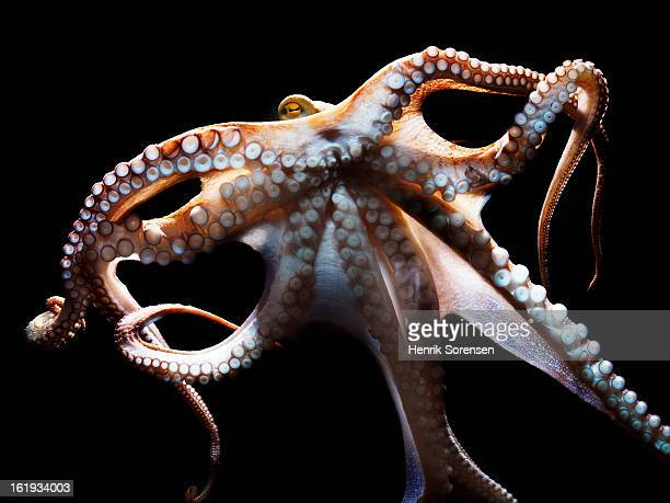 common octopus, Octopus vulgaris