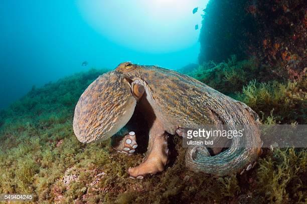 Common Octopus over Reef Octopus vulgaris Cap de Creus Costa Brava Spain