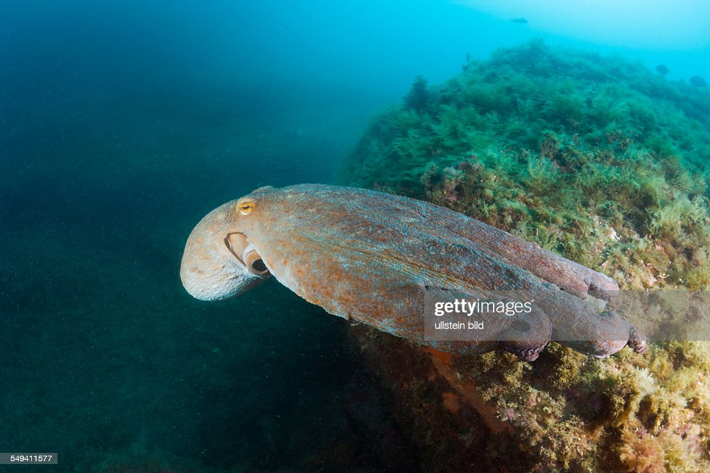 Common Octopus over Reef Octopus vulgaris Cap de Creus Costa Brava Spain