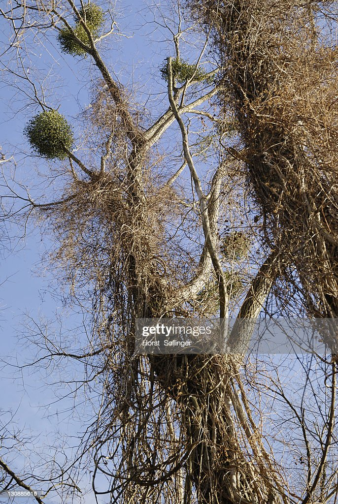 Common - or European Mistletoes (Viscum album) growing in White Willow trees (Salix alba) overgrown with Old Man's Beard or Traveller's Joy (Clematis vitalba) climbing plants : Stock Photo