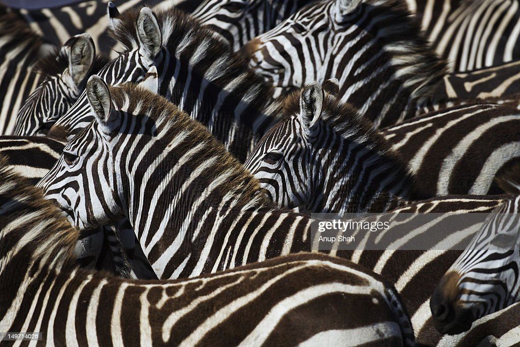Common or Plains zebra herd standing together
