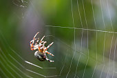 A Common Orb Spider spinning and intricate web with a soft green diffused backgroud