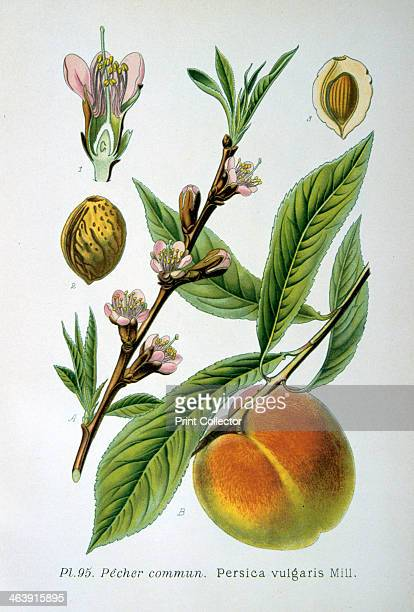 Common peach 1893 Botanical illustration of Persica vulgaris the peach from an atlas of the plants of France