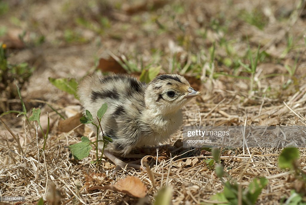 Common Pheasant (Phasianus colchicus) : Stock Photo