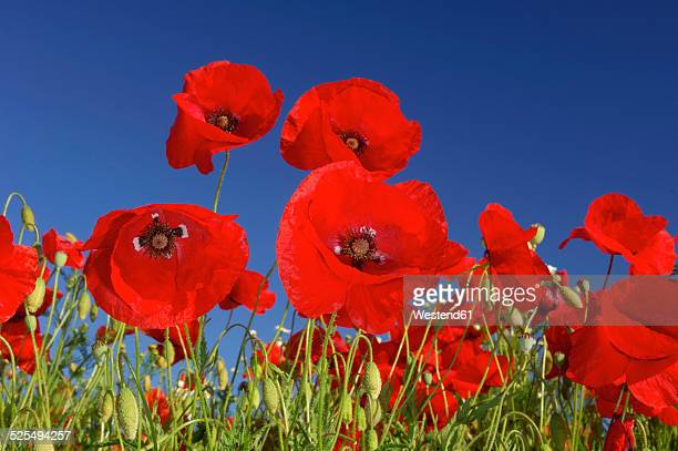 Common Poppies, Papaver rhoeas, in front of blue sky