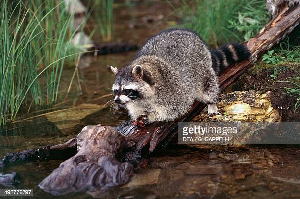 Common raccoon Procyonidae Glacier National Park Montana United States of America