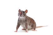 Common Rat, Rattus norvegicus, isolated on the white background