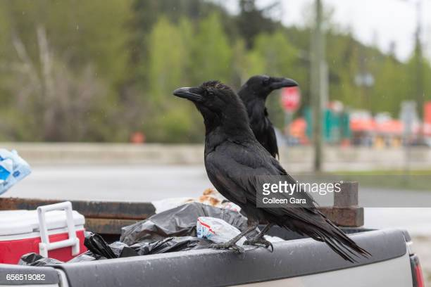 Common Ravens on Back of a Pickup Truck