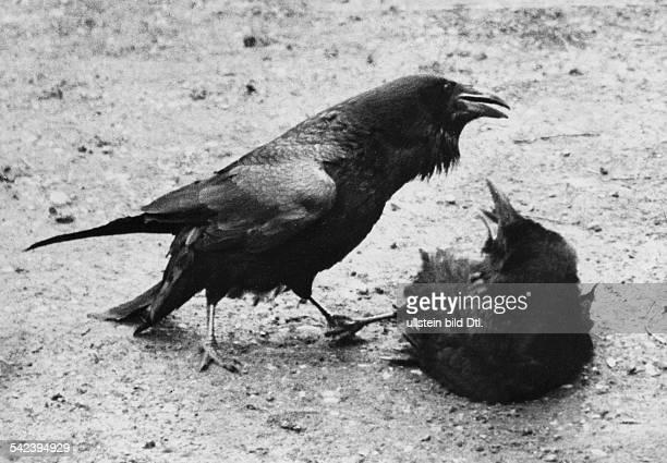 Common ravens quarreling 1930 Photographer Seidenstuecker Published by 'Zeitbilder' 24/1930 Vintage property of ullstein bild