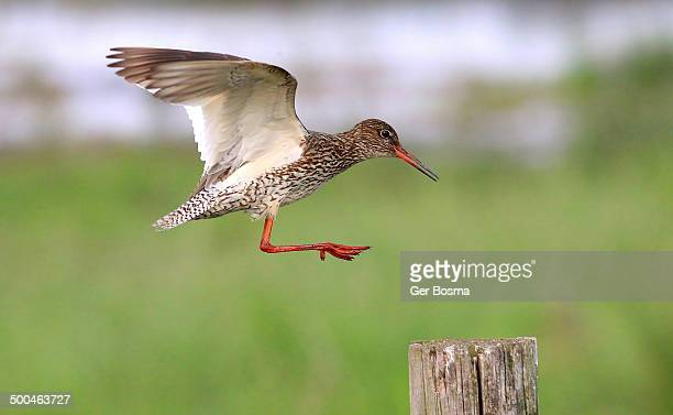 Common Redshank In Flight