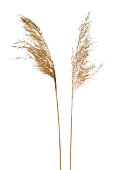 Common reed (Phragmites australis) inflorescence isolated on white.