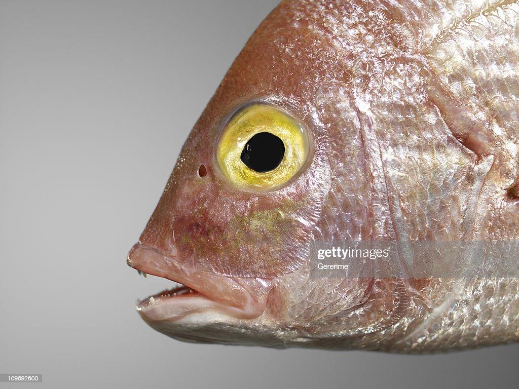 common seabream : Stock Photo