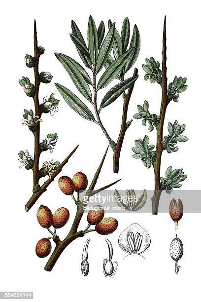 Common seabuckthorn Hippophae rhamnoides