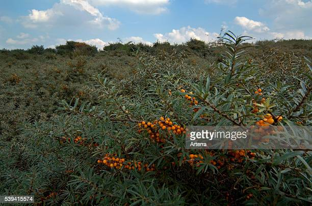 Common Seabuckthorn twig with ripe berries in summer
