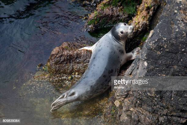 Common seal / harbor seal / harbour seal juvenile resting on rock at base of sea cliff