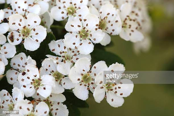 Common singleseeded hawthorn blossoming in spring