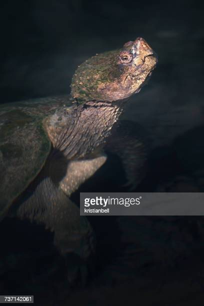 Common snapping turtle (Chelydra serpentina) in water, Florida, America, USA