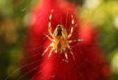 A common spider hangs from its web next to a red flower on September 3 2012 in Berlin Germany Spiders provoke a range of emotional responses in...