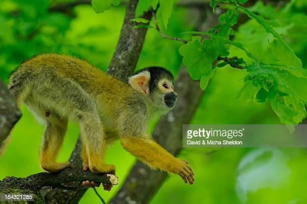Common squirrel monkey (Saimiri sciureus) in a tree