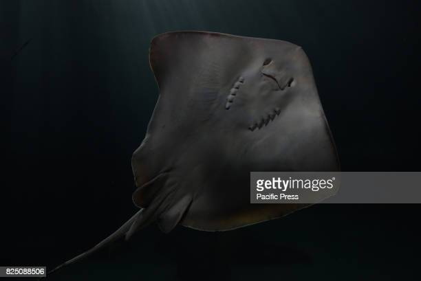 A common stingray at Madrid Aquarium The common stingray a species of stingray in the family Dasyatidae is found throughout the Mediterranean and...