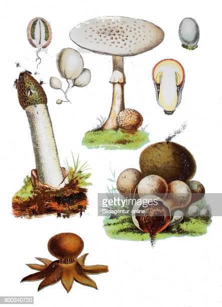 Common stinkhorn Phallus impudicus Amanita strobiliformis Puffball Scleroderma Bovista rosy earthstar Geastrum rufescens