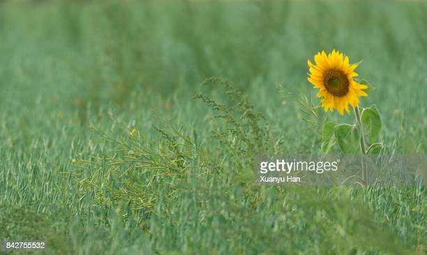 Common Sunflower blooms in Spring in meadow