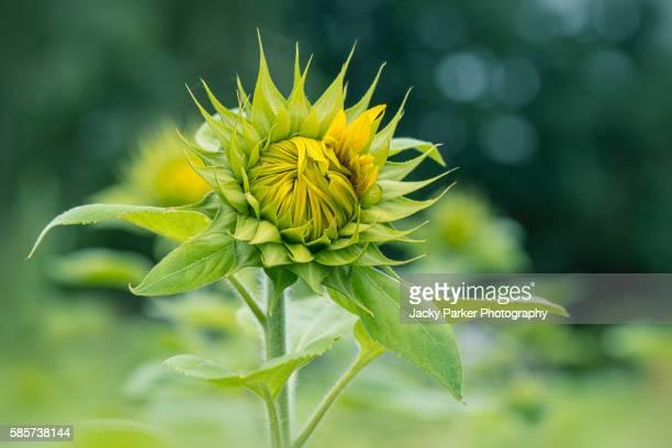 Common Sunflower opening