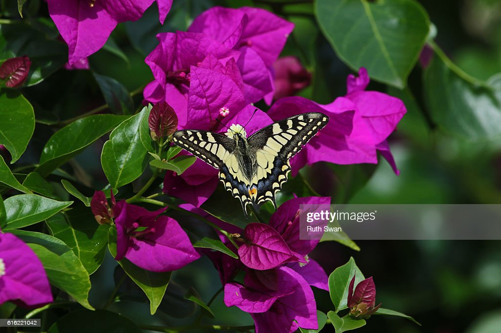 Common swallowtail butterfly papilio machaon on bougainvillea flower in Italy : Stock Photo