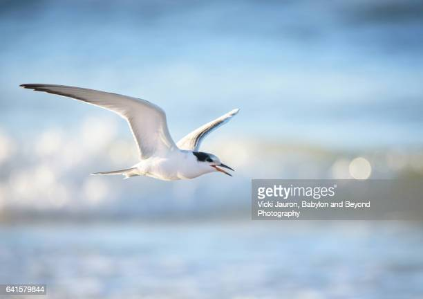 Common Tern In Flight Against Blue Wave