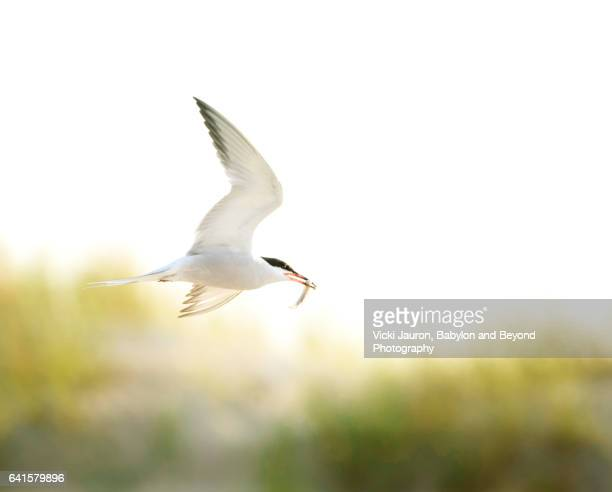Common Tern in Flight with Fish at Nickerson Beach, Long Island, NY