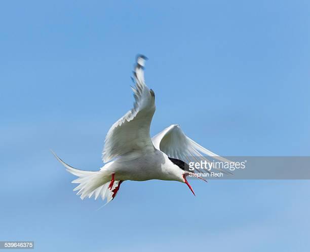 Common Tern -Sterna hirundo-, Farne Islands, Northumberland, England, United Kingdom