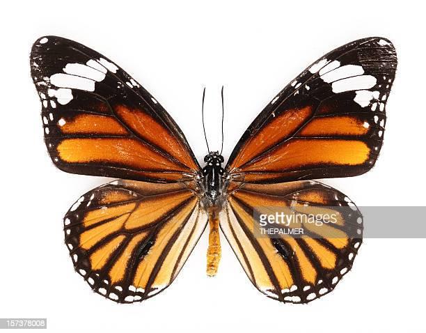 common Papillon tigré