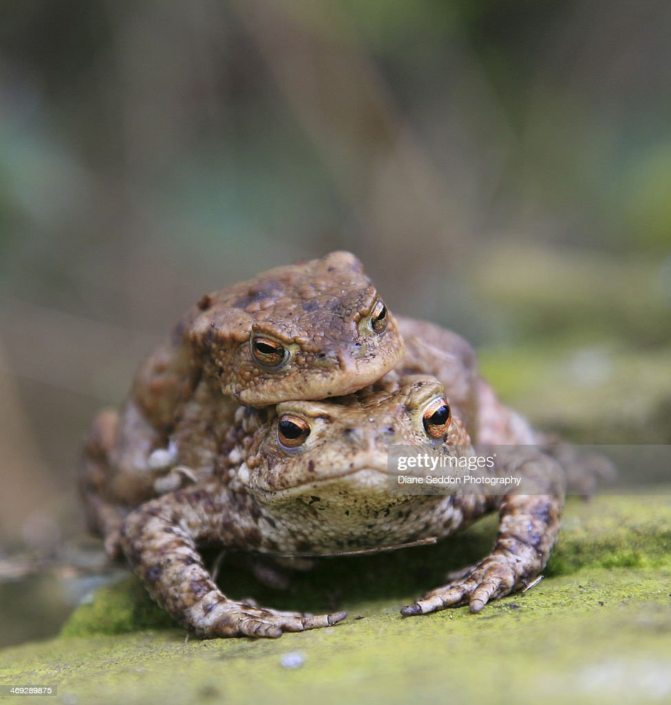 Common toads mating : Stock Photo