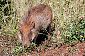 Common Warthog foraging in the Mlilwane National Park Swaziland South Africa