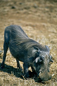 Common Warthog with big tusks kneeling down to feed Kruger National Park South Africa