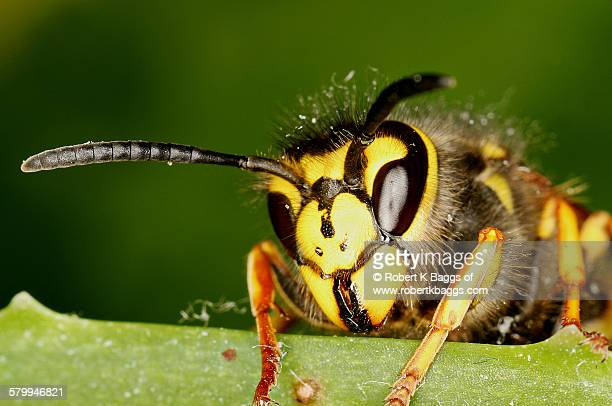 Common wasp close up (vespula vulgaris)
