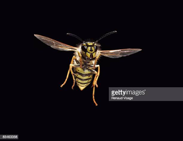 Common wasp in flight