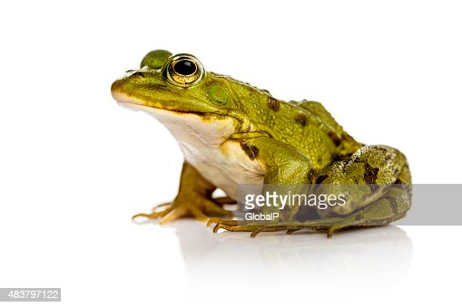 Common Water Frog in front of a white background : Stock Photo