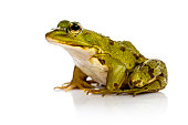Common Water Frog in front of a white background